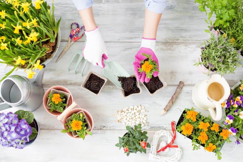 Kobieta replanting kwiaty zdjęcie stock