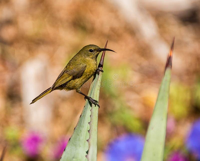 Kobieta Sunbird zdjęcia stock