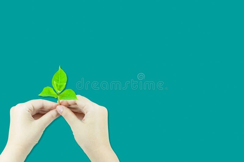 Kobieta trzyma młodej rośliny flancy, odosobnionej na zielonym tle obraz stock