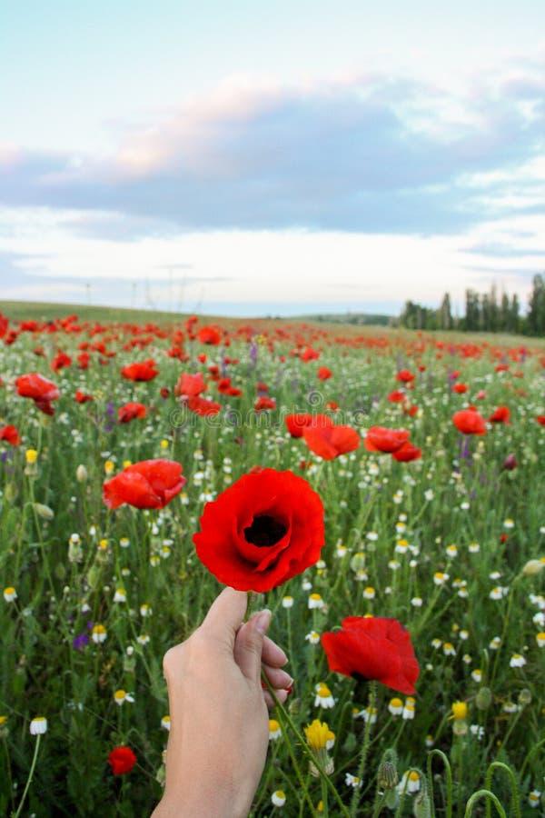Kobieta trzyma makowego kwiatu w polu czerwoni maczki obrazy royalty free