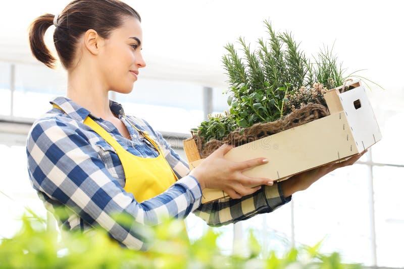 Kobieta trzyma skrzynkę aromatyczni ziele, pracuje w szklarni zdjęcia royalty free