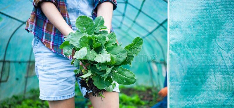 kobieta trzymająca sadzonki kapusty z rzepy do sadzenia w ogrodzie roślinnym fotografia royalty free