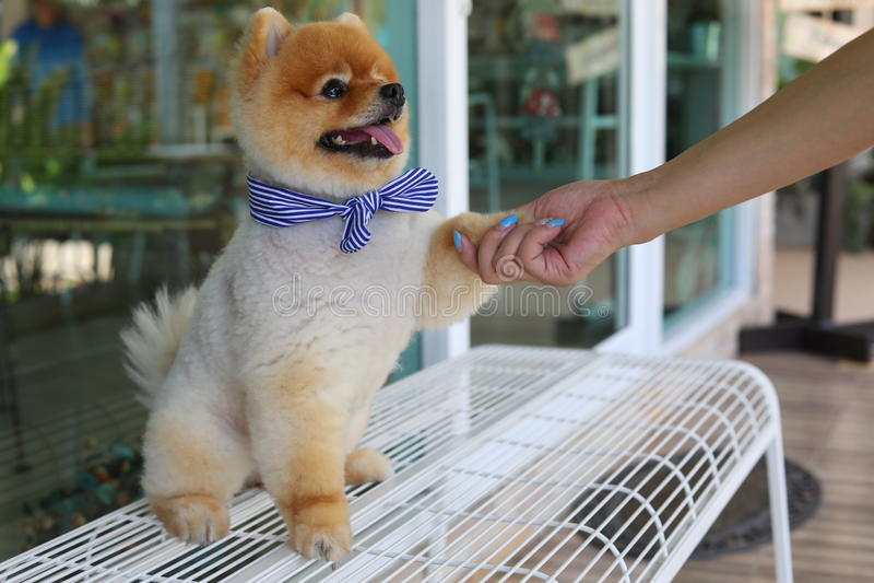 Kobieta właściciel daje potrząśnięcie ręce z małymi pomeranian psimi ślicznymi zwierzętami domowymi zdjęcie royalty free