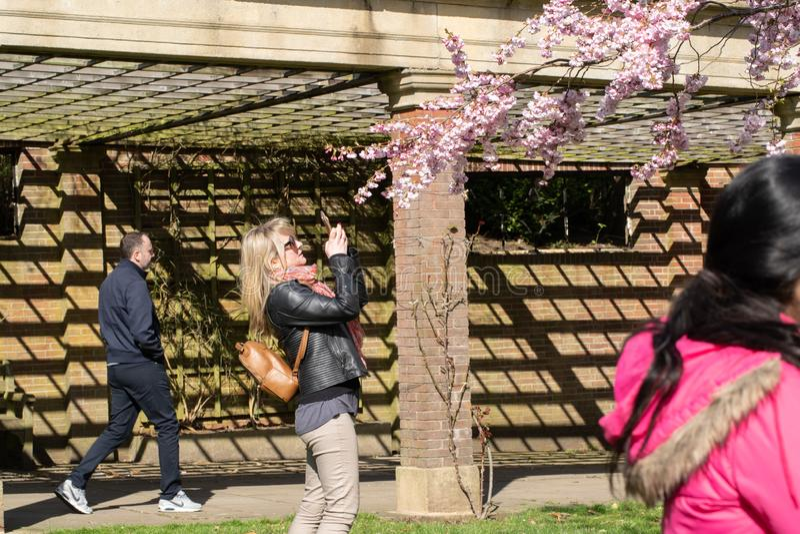 Kobieta w jawnym parku bierze fotografię różowy Czereśniowy okwitnięcie fotografia royalty free