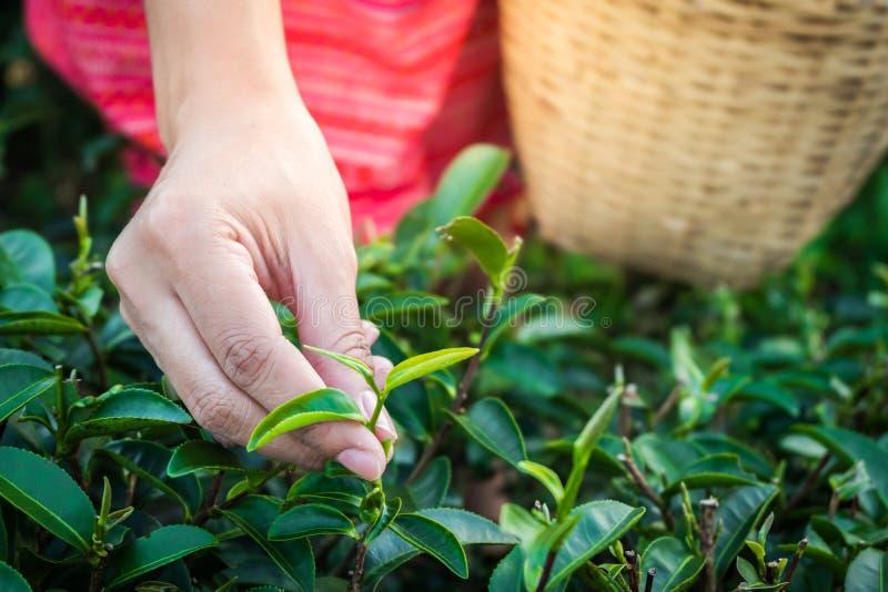 Kobieta wręcza mieniu młodych zielona herbata liście na wzgórzu w ranku z wschód słońca promieniem, rolniczy drzewo fotografia stock