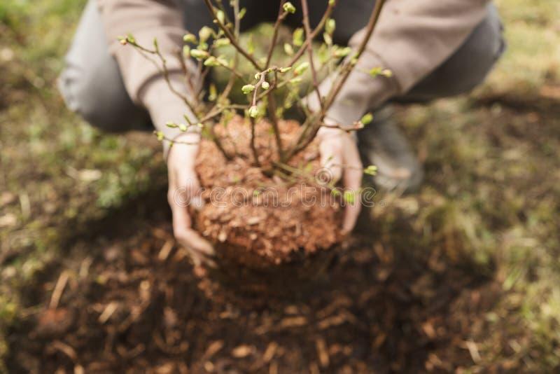 Kobieta zasadza krzaka w ogródzie, mały czarna jagoda krzak obrazy royalty free