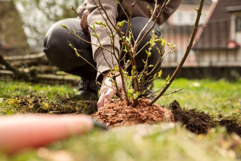 Kobieta zasadza krzaka w ogródzie, uprawia ogródek hobby zdjęcie stock