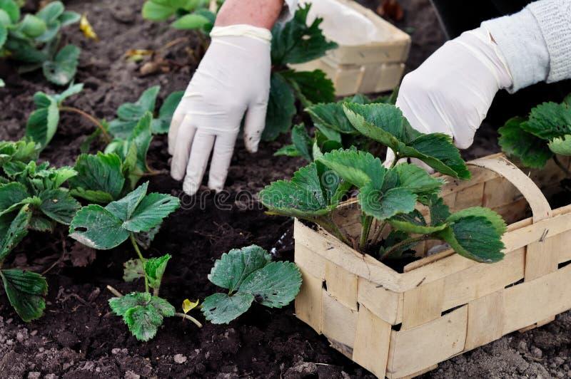 Kobieta zasadza truskawek rośliny zdjęcie royalty free