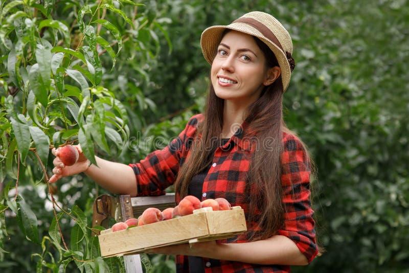 Kobieta zbiera brzoskwinie zdjęcie royalty free