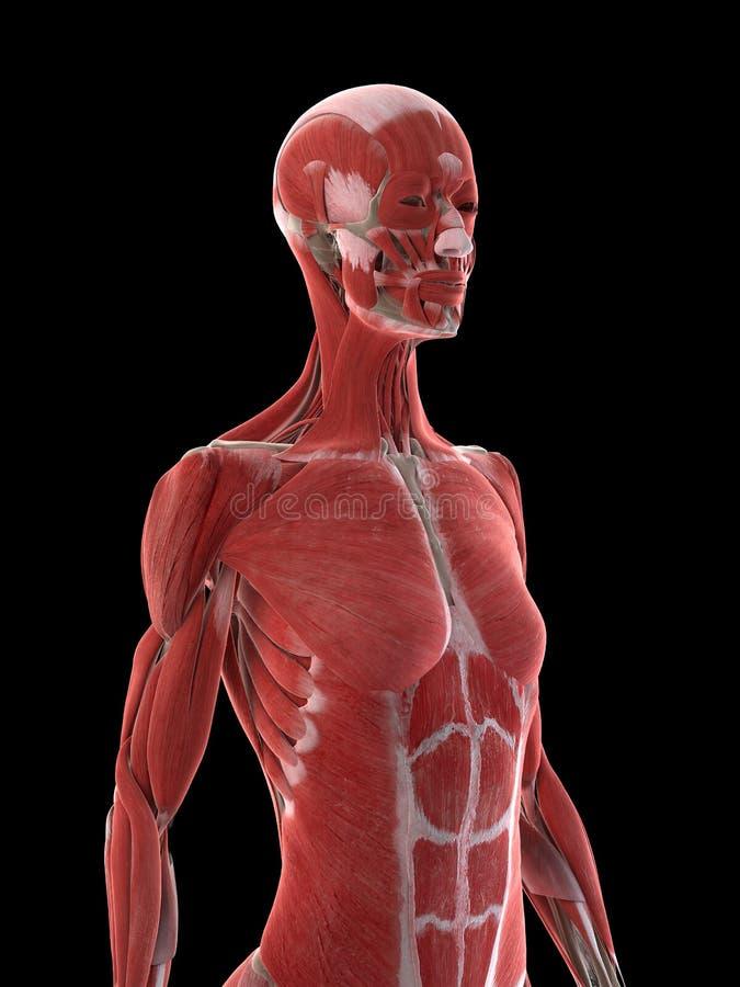 Kobiety górnego ciała mięśnie ilustracja wektor