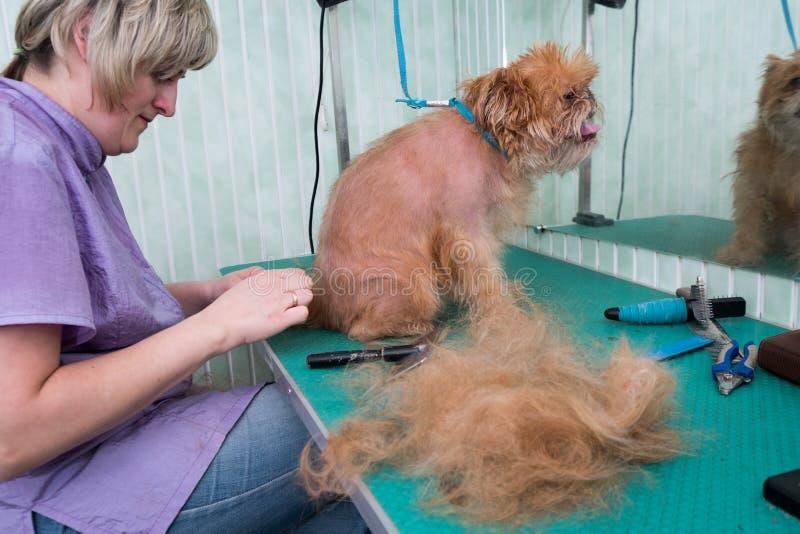 Kobiety groomer robi żyłować Brukselskiego gryfon zdjęcie stock