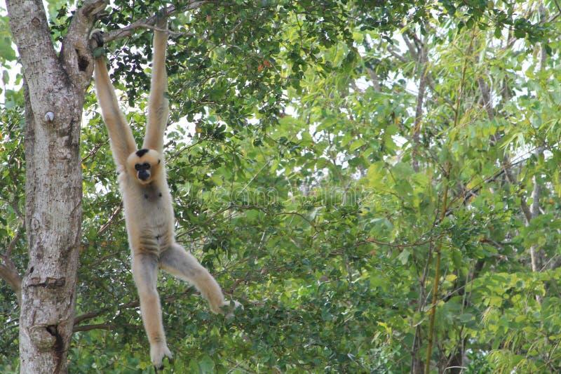 Kobiety małpi wiszący out fotografia stock