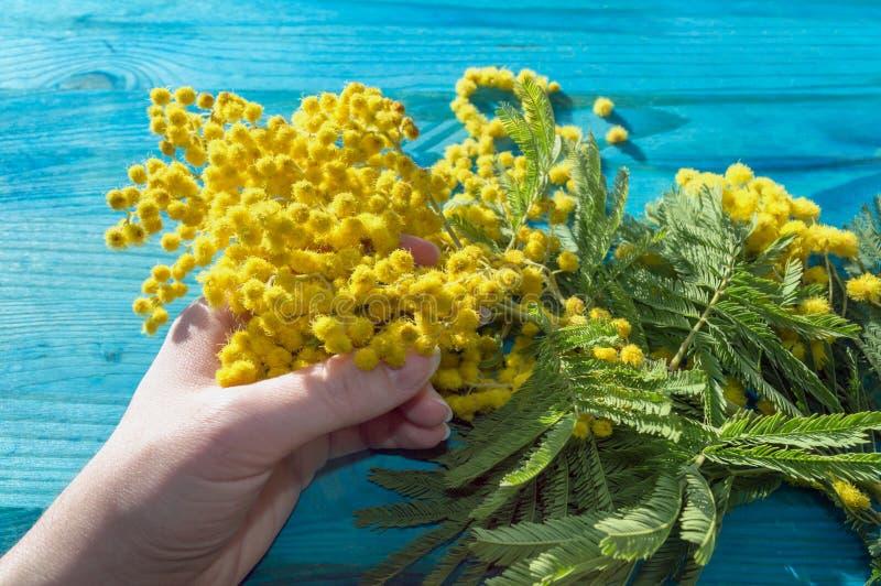 Kobiety mienia gałąź mimozy kwitnie w kwiacie fotografia royalty free