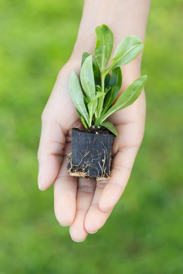Kobiety mienia prymki roślina w ręce zdjęcie royalty free