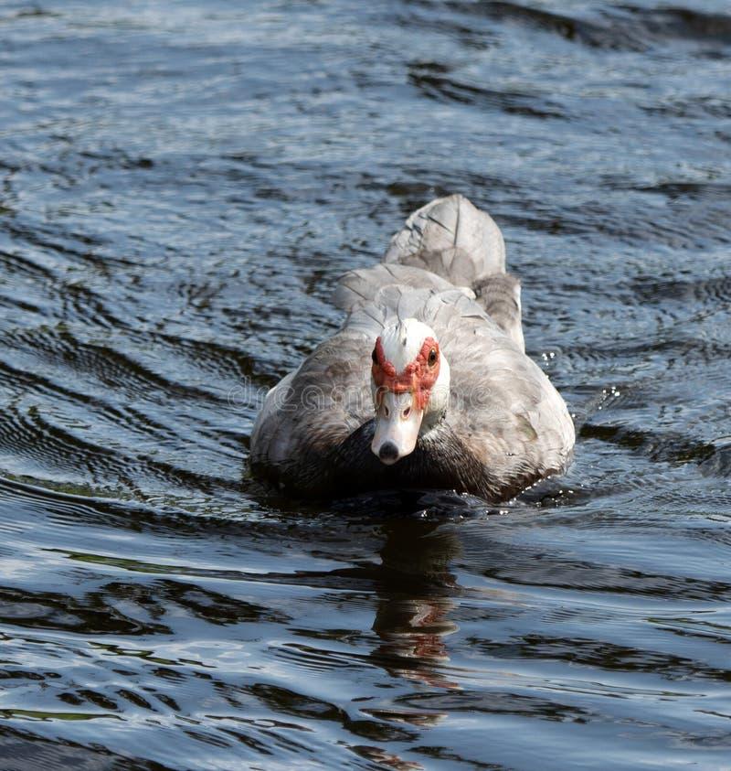 Kobiety Muscovy kaczka w błękitne wody zdjęcia stock