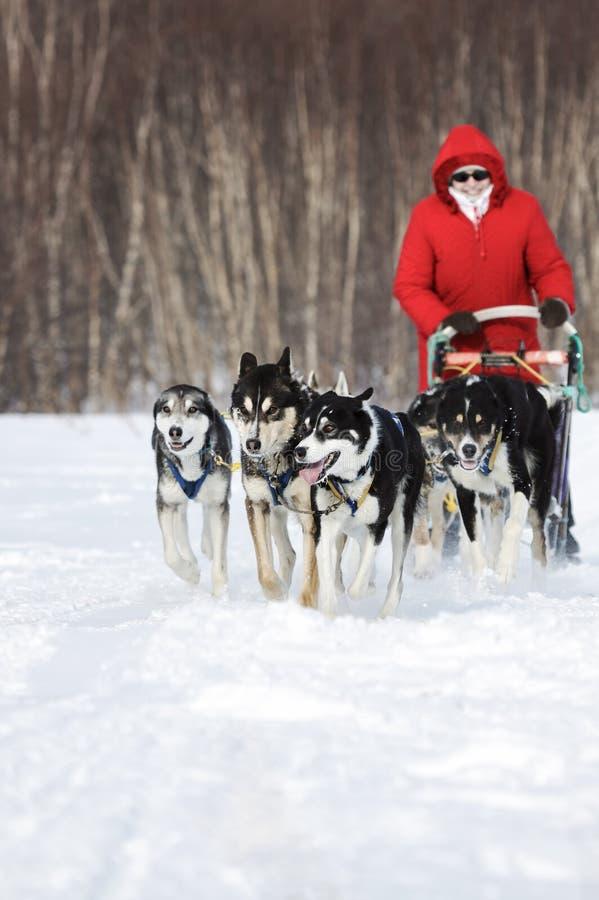 Kobiety musher przejażdżek psi sledding psi sanie na zima lesie zdjęcie stock