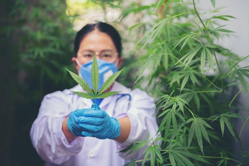 Kobiety-naukowcy sprawdzają liście marihuany pod kątem choroby fotografia stock