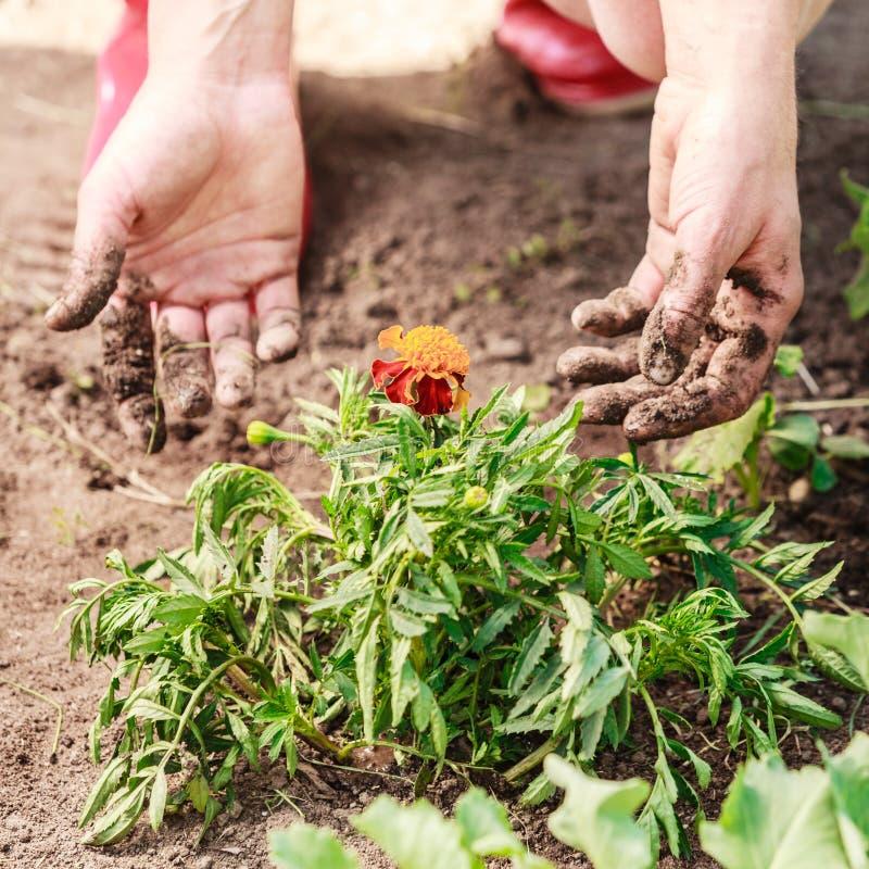 Kobiety ogrodniczka replanting kwiaty zdjęcie stock