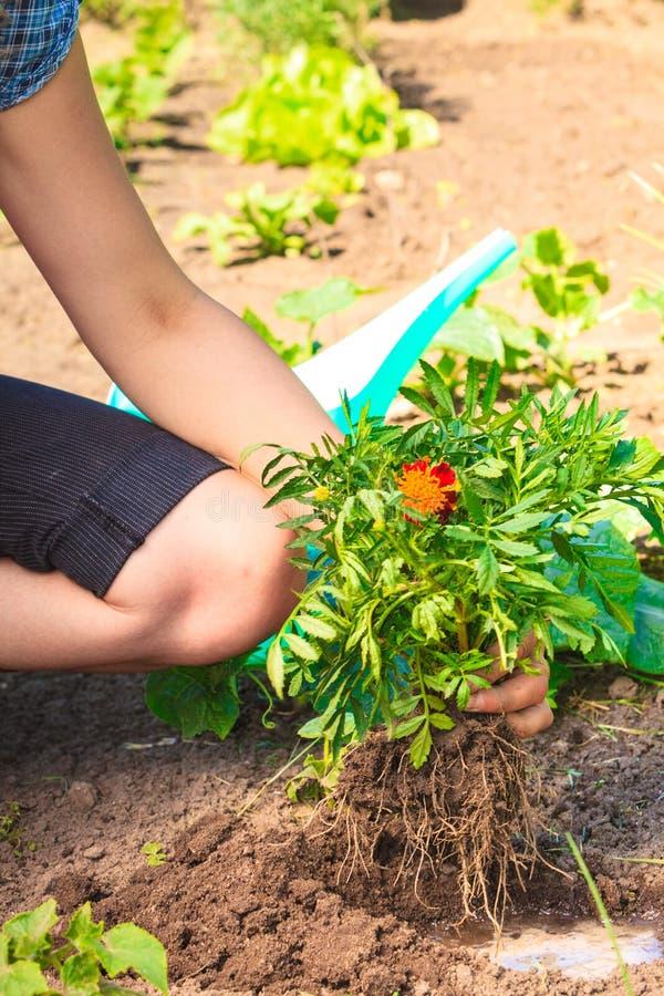 Kobiety ogrodniczka replanting kwiaty obraz royalty free