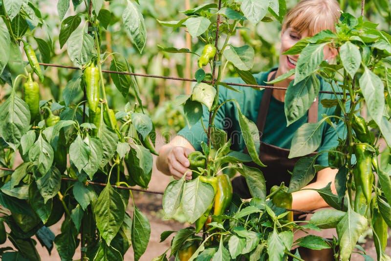 Kobiety ogrodniczka w handlowym szklarnianym narastającym dzwonkowym pieprzu obraz royalty free