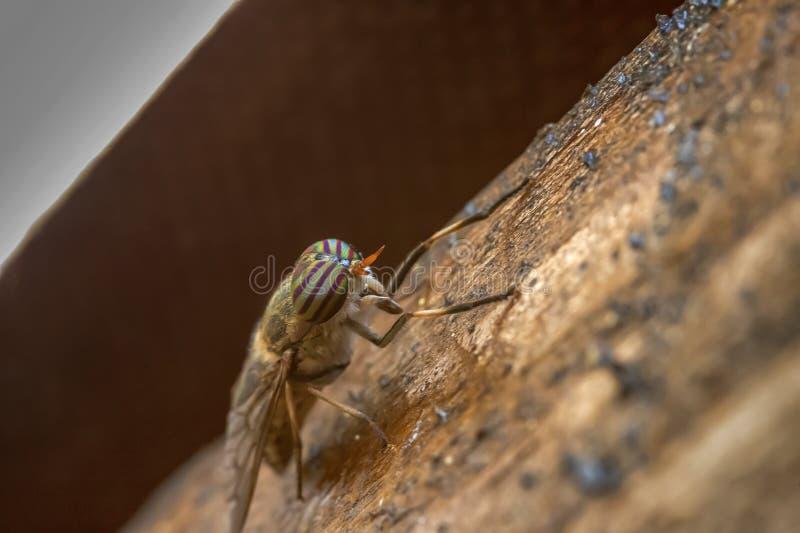 Kobiety Pasiasta komarnica fotografia stock