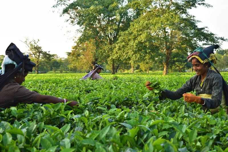 Kobiety podnoszą w górę herbacianych liści ręcznie przy herbacianym ogródem w Darjeeling, jeden najlepszy ilości herbata w świaci obraz royalty free