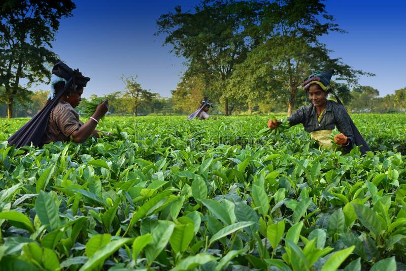 Kobiety podnoszą w górę herbacianych liści ręcznie przy herbacianym ogródem w Darjeeling, jeden najlepszy ilości herbata w świaci obrazy stock