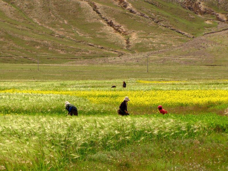 Kobiety pracuje dalej w polu, Tybet, Chiny zdjęcie stock