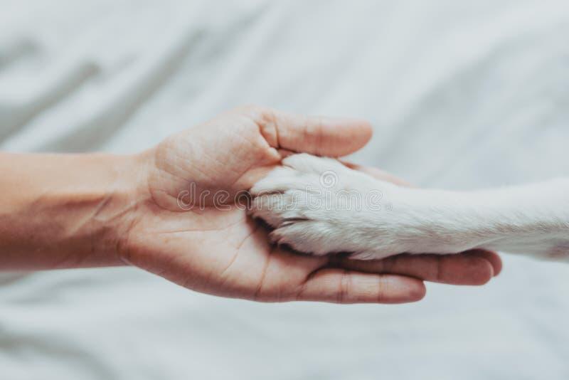 Kobiety ręka delikatnie trzyma białą psią łapę Taborowy pies trząść łapy Domowy czas wolny poca?unek mi?o?ci cz?owieka koncepcja  obraz stock