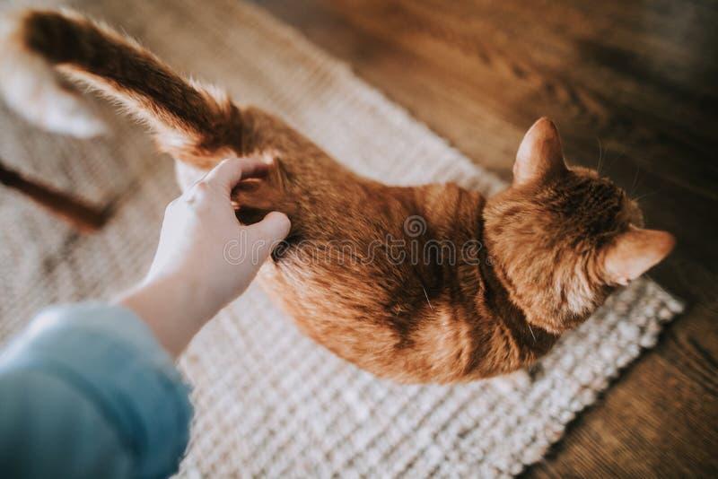 Kobiety ręka migdali ślicznego domowego imbirowego kota obraz royalty free