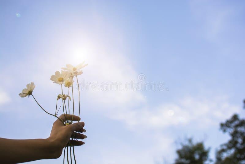 Kobiety ręka trzyma bukieta pięknego białego kosmos kwitnie w jaskrawym niebo dniu zdjęcia stock