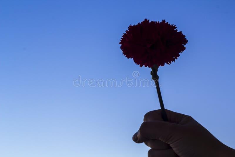 Kobiety ręka trzyma czerwonego goździka kwiatu przeciw niebieskiemu niebu Portugalski goździk rewoluci pojęcie fotografia stock