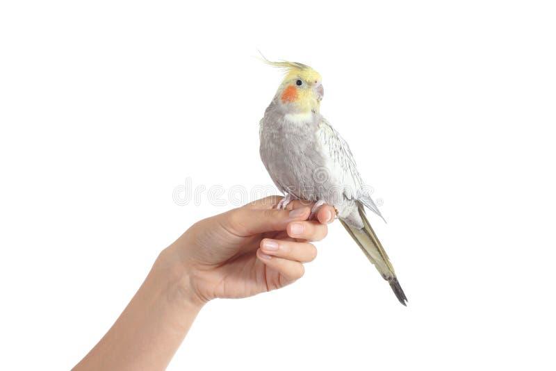 Kobiety ręka trzyma pięknego cockatiel ptasi obrazy stock