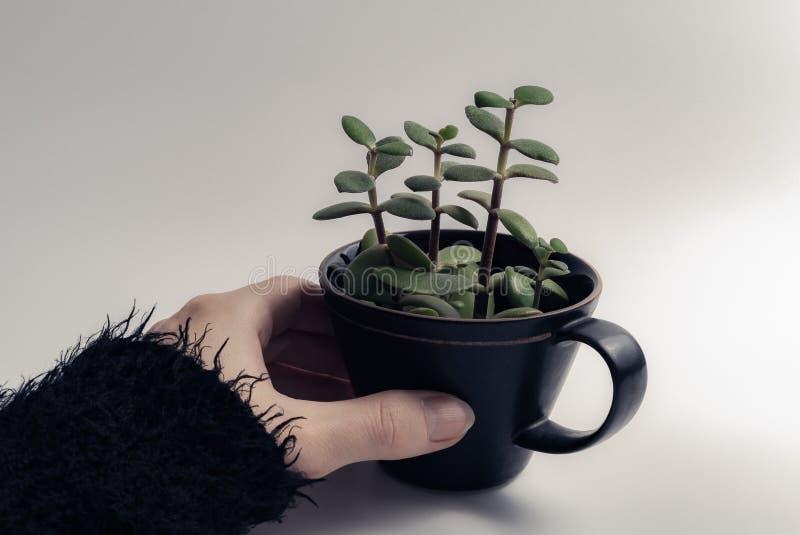 Kobiety ręka trzyma zielonego tłustoszowatego rośliny dorośnięcie w czarnej filiżance odizolowywającej na białym tle z copyspace obraz stock