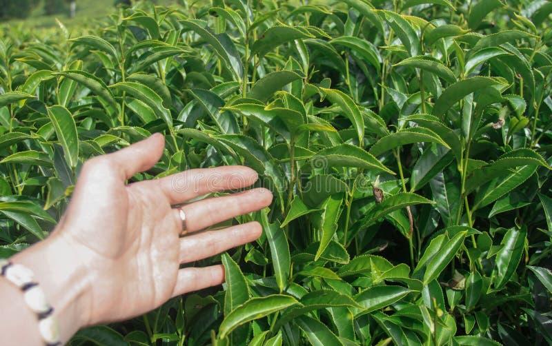 Kobiety ręka z zielonymi polami herbata w Ooty fotografia royalty free