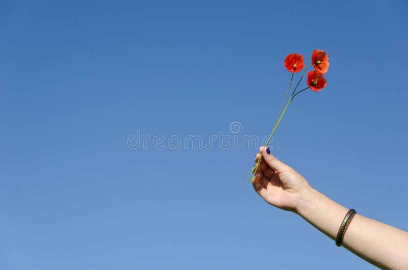 Kobiety ręki chwyta makowy kwiat kwitnie na niebieskim niebie zdjęcia stock