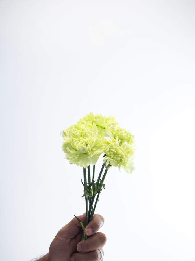Kobiety ręki chwyta zieleni goździk na bielu fotografia stock
