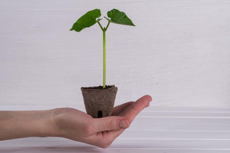 Kobiety ręki mienia potomstw zieleni flanca Wiosny pojęcie zdjęcia stock