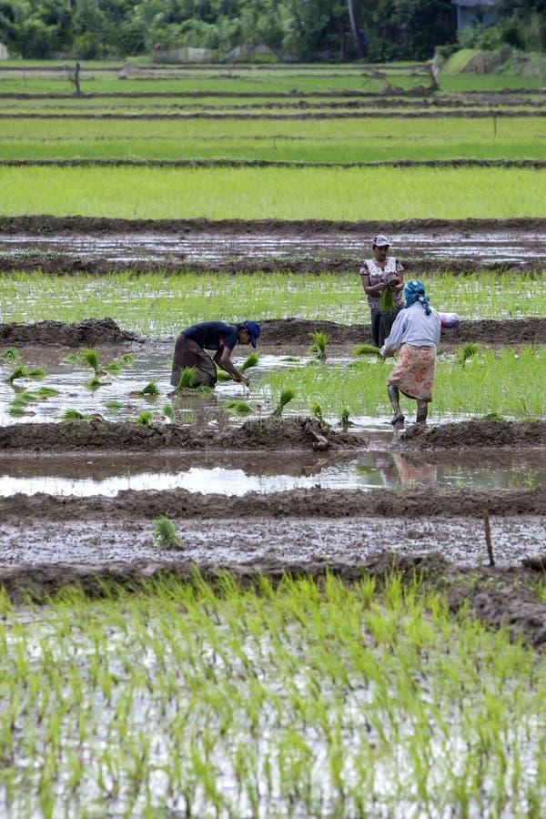 Kobiety ręki rośliny ryżowe rozsady w nawodnionego pole przy Udunuwara, blisko Kandy w środkowym Sri Lanka zdjęcia royalty free