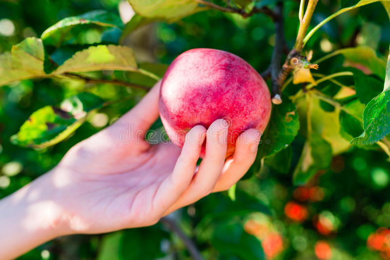 Kobiety ręki zrywania czerwony jabłko od drzewa zdjęcia stock