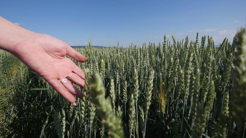 Kobiety ` s ręka iść przez pszenicznego pola Dziewczyny ` s ręki ucho wzruszający pszeniczny zbliżenie Żniwa pojęcie zebrać swobo obraz stock