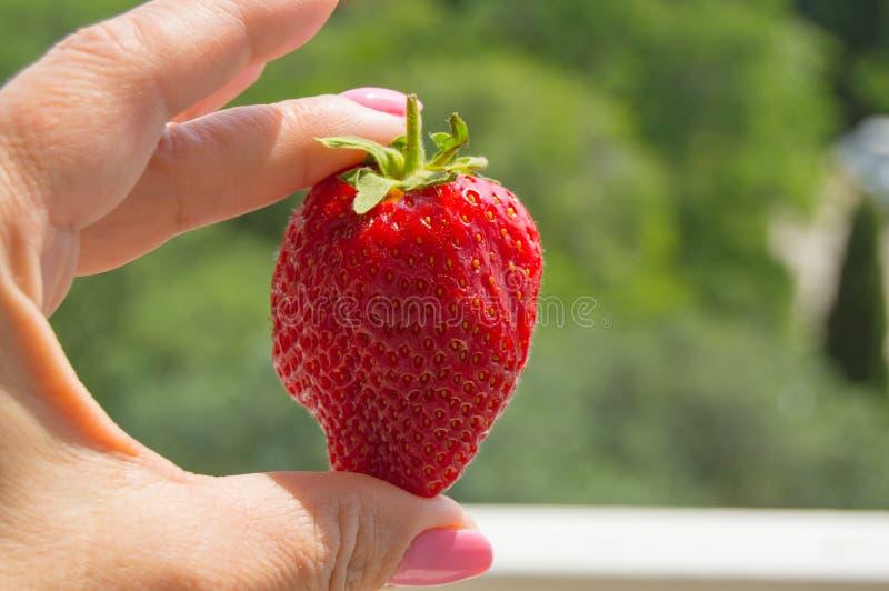 Kobiety ` s ręka trzymający wielkie dojrzałe truskawki, dobry żniwo zdjęcia royalty free