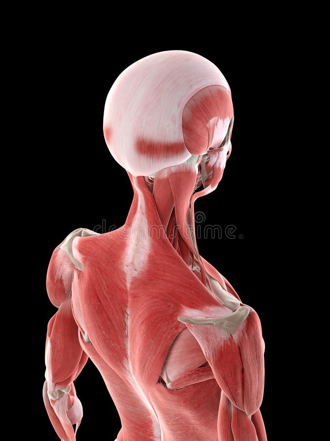 Kobiety szyi mięśnie ilustracja wektor