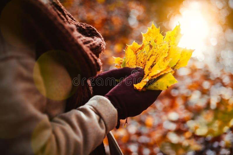 Kobiety trzymają bukiet jesień żółci liście klonowi w jej gloved rękach Backlit światła słonecznego odbicie z słońce promieniami  fotografia royalty free