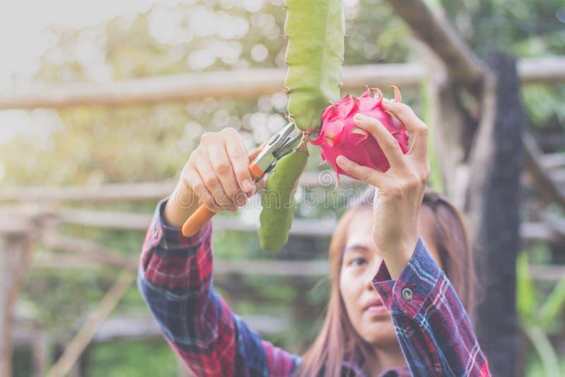 Kobiety zbierają smok owoc, rolnik zbierali smoka f obrazy stock
