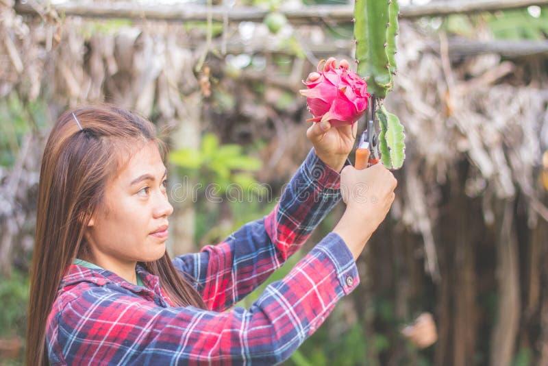 Kobiety zbierają smok owoc, rolnik zbierali smoka f zdjęcie royalty free