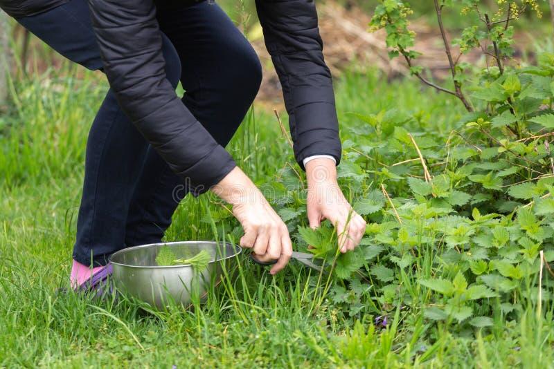 Kobiety zrywania pokrzywa przy ogr?dem fotografia royalty free