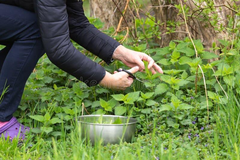 Kobiety zrywania pokrzywa przy ogr?dem obraz royalty free
