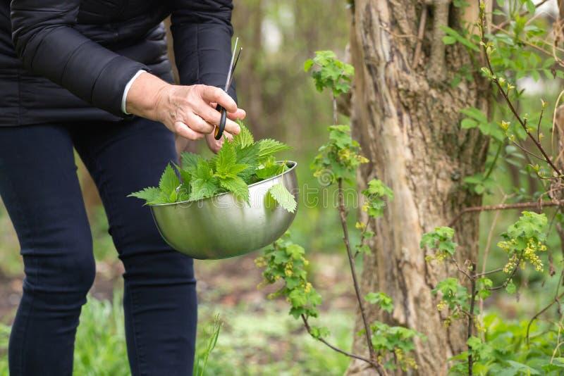 Kobiety zrywania pokrzywa przy ogr?dem zdjęcie royalty free