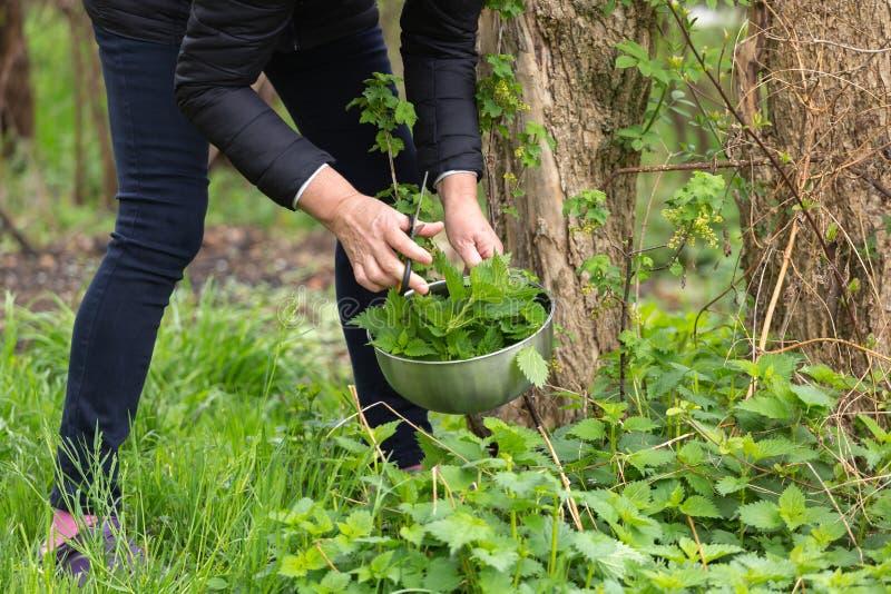 Kobiety zrywania pokrzywa przy ogr?dem zdjęcia royalty free